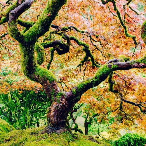 Foto di un Pinus Contorta