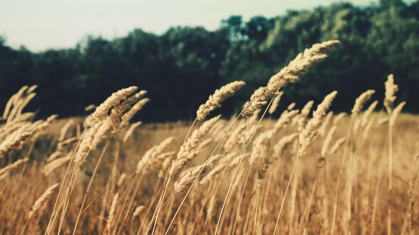 Immagine di un campo di grano